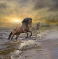 Horses coming out of the sea Royalty Free Stock Photo