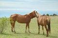 Horses couple Stock Photography