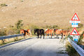 Horses cross the road in the south of italy a herd are crossing a provincial sirente velino regional park one largest and most Royalty Free Stock Images