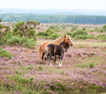 Horses cuddling a wild horse and cute foal in the new forest england Stock Photography