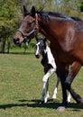 Horses 203 Royalty Free Stock Photo
