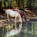 Horses drink in a pond near Subiaco, Lazio, Italy Royalty Free Stock Photo