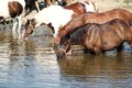 Horses drink water nature scene Royalty Free Stock Image