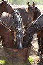 Horses drinking close-up Royalty Free Stock Photo