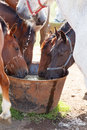 Horses drinking in pasture sunny and hot day Royalty Free Stock Images