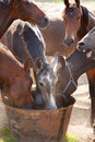 Horses drinking in pasture sunny and hot day Stock Photo