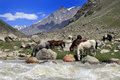 Horses drinking water near river in the field, Northern India Royalty Free Stock Photo