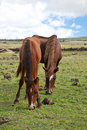Horses on Easter Island Royalty Free Stock Photography
