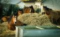 Horses eating dried hay