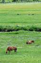 Horses eating grass in the highland of tibet Stock Images