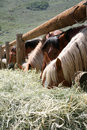 Horses eating hay Royalty Free Stock Image