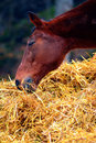 Horses eating from a hay bale Stock Photography