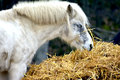 Horses eating from a hay bale Stock Image