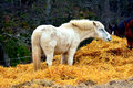 Horses eating from a hay bale Royalty Free Stock Image