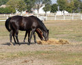 Horses eating hay farm with Royalty Free Stock Photo