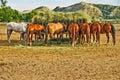 Horses Eating Hay from Feeding Crib Royalty Free Stock Photo