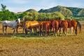 Horses Eating Hay from Feeding Crib in Corral Royalty Free Stock Photo