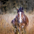 Horses on a field chestnut grazing autumn Stock Images