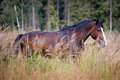 Horses on a field chestnut grazing autumn Stock Photography
