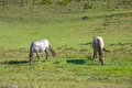 Horses In A Field Eating Grass...