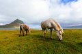 Horses in field, Iceland