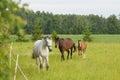 Horses on the field Royalty Free Stock Photo