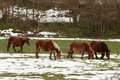 Horses in the fields covered by the snow winter Royalty Free Stock Photo