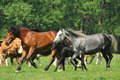 Horses and foals on field the Royalty Free Stock Photos