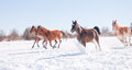 Horses galloping wide open down hill in a snowy winter pasture Royalty Free Stock Image