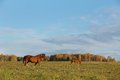 Horses graze on an autumn meadow two Stock Images