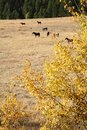 Horses graze on a hillside in the autumn sunshine nicola valley british columbia canada Stock Images