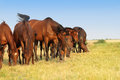 Horses graze mares and foals on the field early in the morning Royalty Free Stock Photography