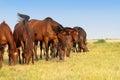 Horses graze Royalty Free Stock Photo