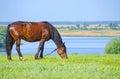 Horses graze near the river. Royalty Free Stock Photo
