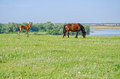Horses graze near the river. Royalty Free Stock Photo