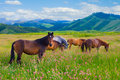 Horses are grazed on a meadow Royalty Free Stock Image