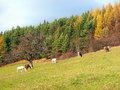 Horses grazing in autumn field view of many with colorful forest background Stock Image