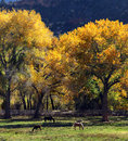 Horses grazing in autumn a small herd of graze amongst bright fall colors utah Stock Photo