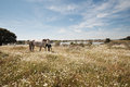 Horses grazing in the field on a sunny day extremadura spain Stock Photos