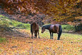Horses grazing in a forest in autumn Stock Images