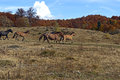 Horses grazing in a forest in autumn Stock Photos