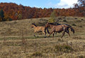 Horses grazing in a forest in autumn Royalty Free Stock Photos