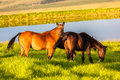Horses grazing grass nearby a dam during the summer season at days end in the mountains Stock Photography