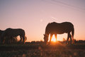 Horses grazing in a meadow Royalty Free Stock Photo