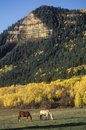 Horses Grazing Near Autumn Aspens Stock Photography