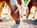 Horses grazing oats Royalty Free Stock Photo
