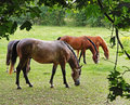 Horses Grazing in Rural England Stock Images