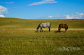 Horses grazing Royalty Free Stock Photo