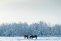 Horses Grazing in Winter Stock Photography