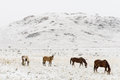 Horses Grazing In Winter Snow ...